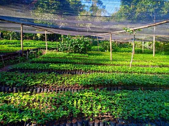 Arabica coffee and Robusta coffee seedlings produced by Manipi Cooperative